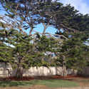 Monterey/Santa Cruz Cypress Tree